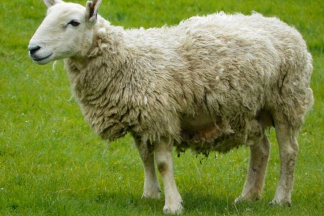 Вівці покриті 2000 одна.
