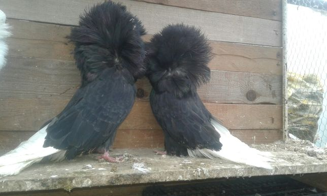 Perukarz perukarze czarne para parzysta ptaki gołębie ozdobne