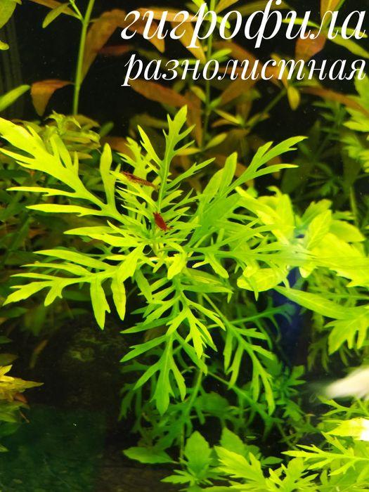 Растения аквариумные Донецк - изображение 1