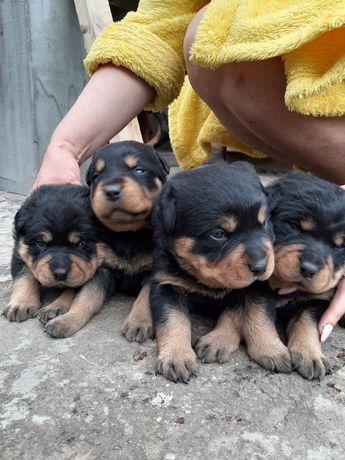 Мощные щенки ротвейлеры