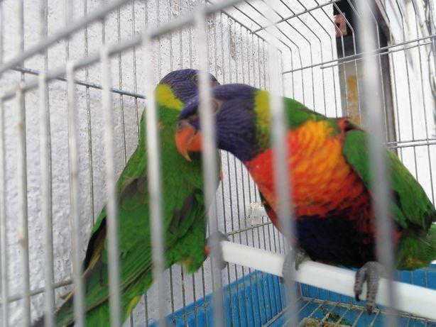 Vendo casal de loris arco-íris