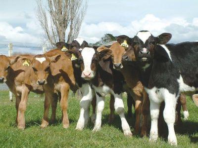 promocja cielaki cieleta byczki mleko w proszku