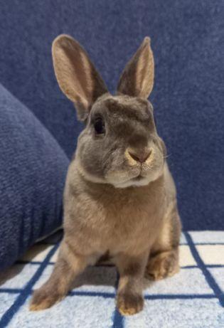 Декоративный кролик породы Карликовый рекс