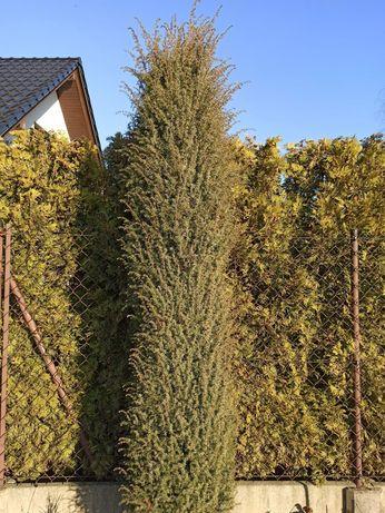 Krzew ozdobny do ogrodu bonsai jałowiec