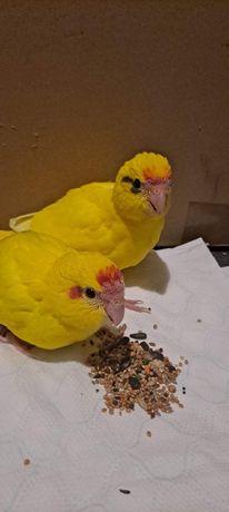 Sprzedam papugi nimfy ręcznie karmione