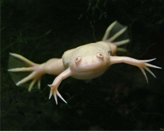 Żaba Szponiasta Albino (platana szponiasta)
