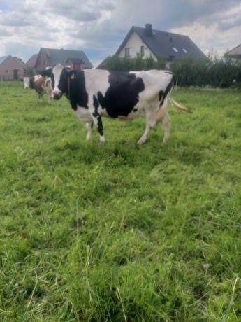 Krowy mleczne, jałowki