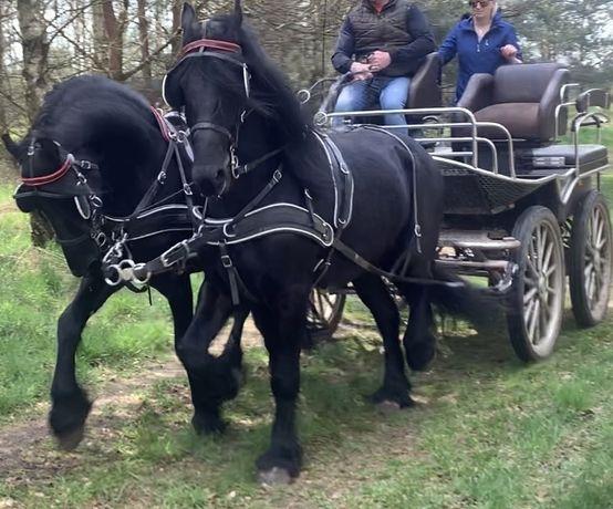 Пара Фриских меринов , лошади , конь , кобыла , жеребец , пони конi