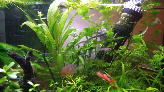 Peixes Guppy endler