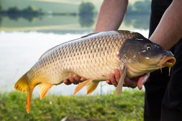 Жива риба Дрогобич Карась, карп(короп),товстолоб
