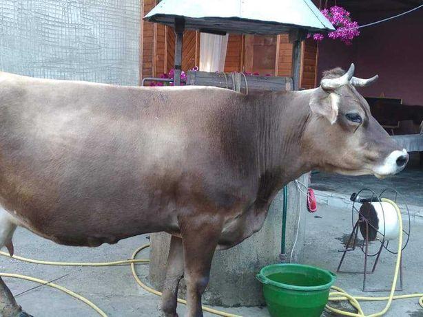 Продам корову в смт. Вишково.+380983985908