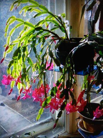 Продам цветок декабрист