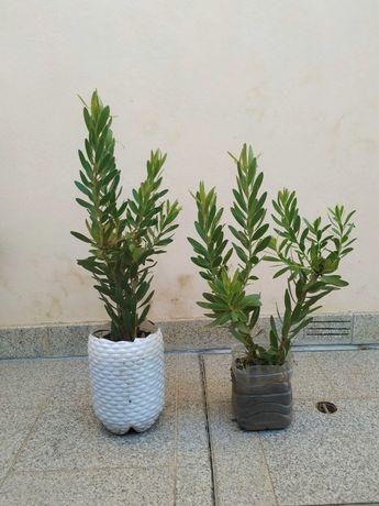 Protea Leucadendron