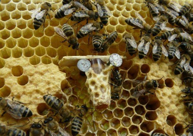 От лучших семей. С 23 мая. Пчеломатки. Украинская Карпатская пчела.