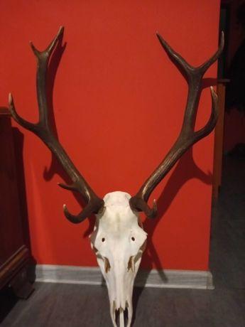 Poroże jelenia nieregularny dwunastak