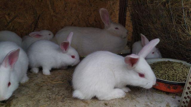 Продам крольчат породы термонский