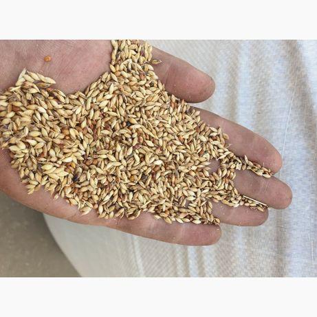 Продам насіння суданки