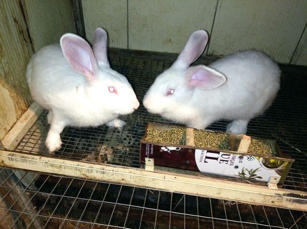 Кролики мясная порода Паннон Панон белый