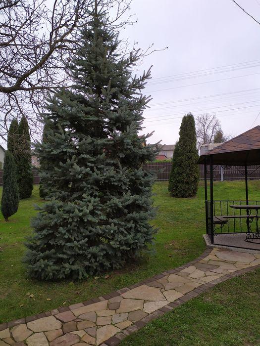 Ялинка жива висота 4-5м Бучач - изображение 1