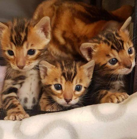 Rodowodowe Koty Bengalskie i Kaszmiry (bengal dlugowlosy)