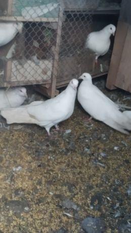 Голуби рымский великан голуб