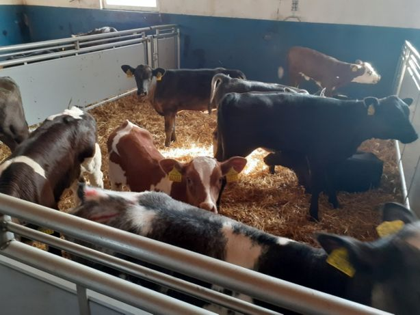 Byczki Mięsne Cielaki na Sprzedaż Sokołów Podlaski