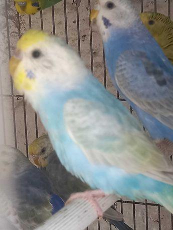 Periquitos arco-iris e outras mutações