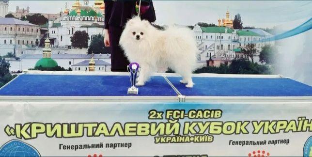 Шпиц Чемпион белого окраса. Вязка