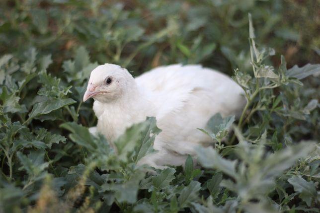 Перепела инкубационные яйца