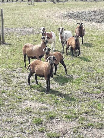 Owce, baranki , matki z młodymi