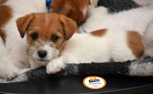 Piesek Jack Russell Terrier ZKwP