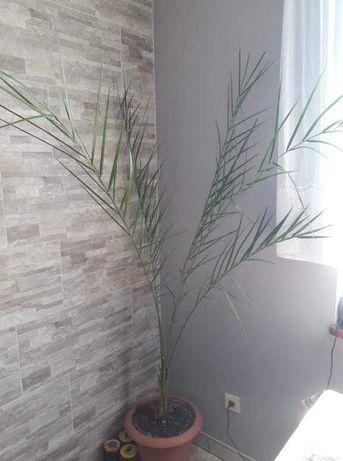 Palma daktylowa domowa 160cm
