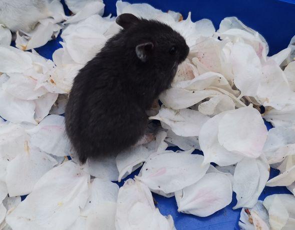 Джунгарики редий чёрный цвет.