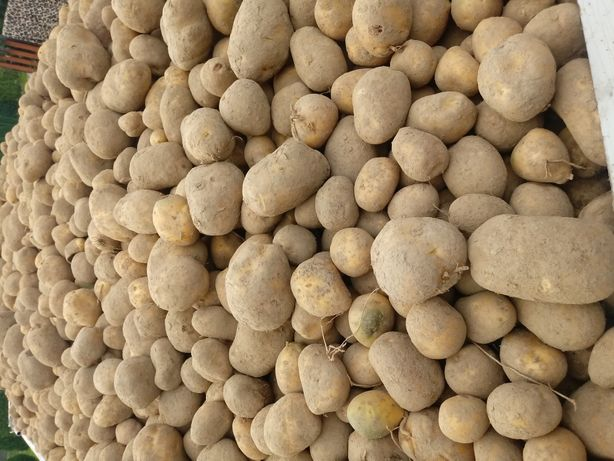 Ziemniaki swojskie vineta bellarosa