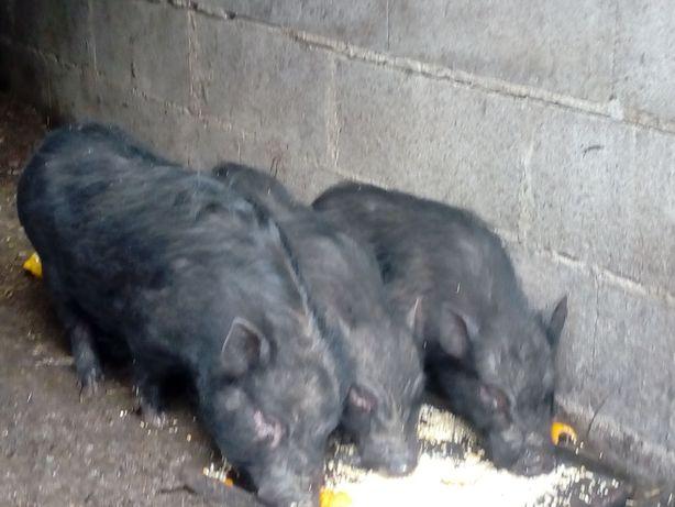 Porco Vietnamita