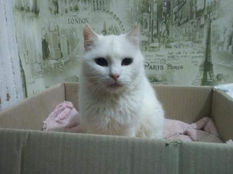 Отдам белую кошку.