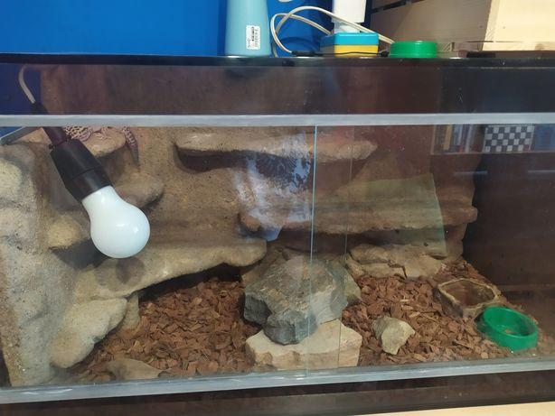 Gekon lamparci + terrarium