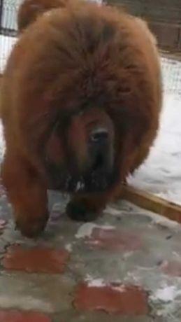 Mastif tybetański -rezerwacja szczeniąt