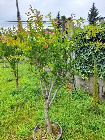 Romãzeiras/Fruteiras Bom Preço! / Plantas / Árvores / Jardim