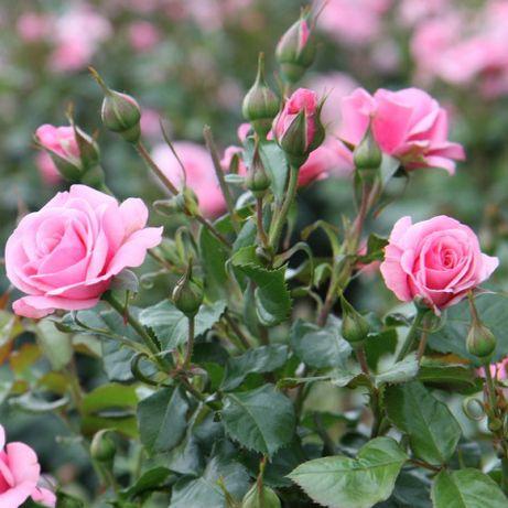 Кущі троянд