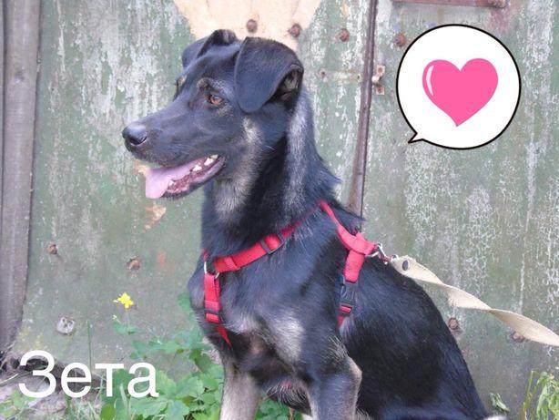 Бесплатно: крупная, высокая молодая собака Зета, 8 мес , стерилтзована