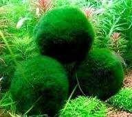 Gałęzatka kulista roślina wodna mech