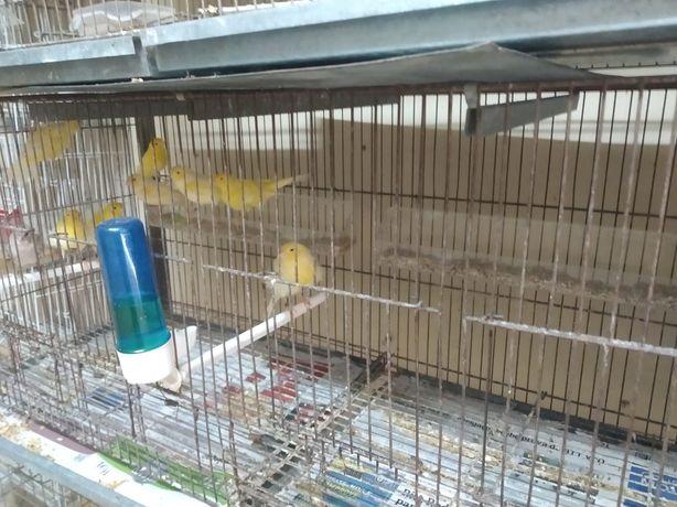 Varias raças de canarios