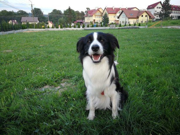 Border Collie Reproduktor/Krycie pies Małopolska