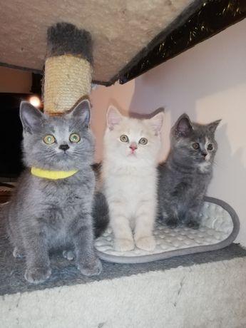 Koty kocięta kotki brytyjskie