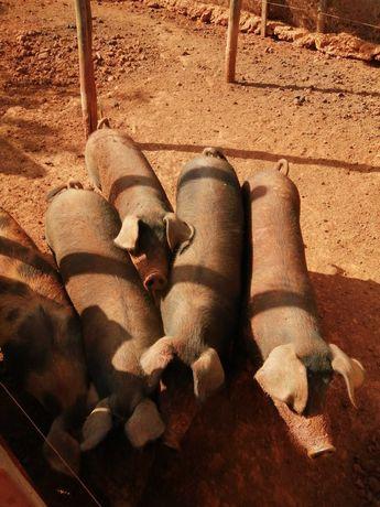 Porcas pretas raça Grande de Carne