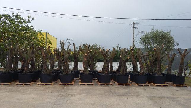 oliveiras centenarias