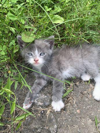 Пепельный пушистый котенок