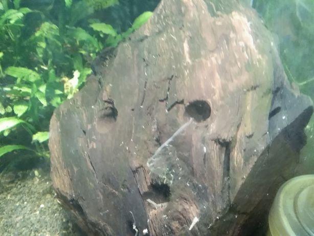 Kryjówka dla krewetek z bryły lignitu (amatorska hodowla u Gibsona)