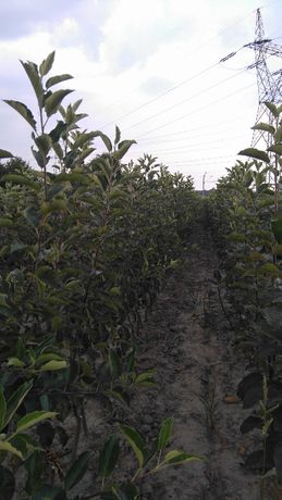 drzewka owocowe jabloni